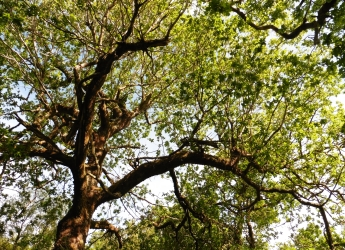 British oak trees support a rich biodiversity (c) James Huttton Institute
