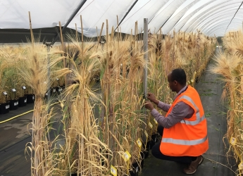 Girma Fana working with Ethiopian barley cultivars (c) James Hutton Institute