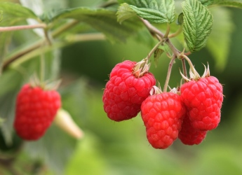 Glen Dee raspberries (c) James Hutton Institute