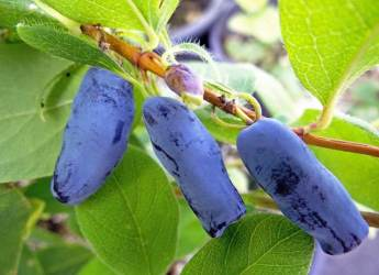 Honeyberries (courtesy P.A. Arbuckle & Sons)