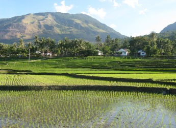 Rice fields in Indonesia (courtesy Dr Robin Matthews)