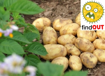 Potatoes in a field next to the FindOUT app logo