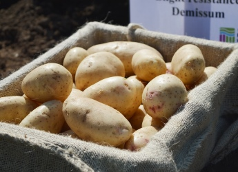 Potatoes are a great source of vitamins and minerals (c) James Hutton Inst
