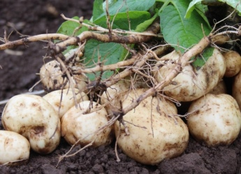 Potato crops are at the centre of a new partnership (c) James Hutton Institute
