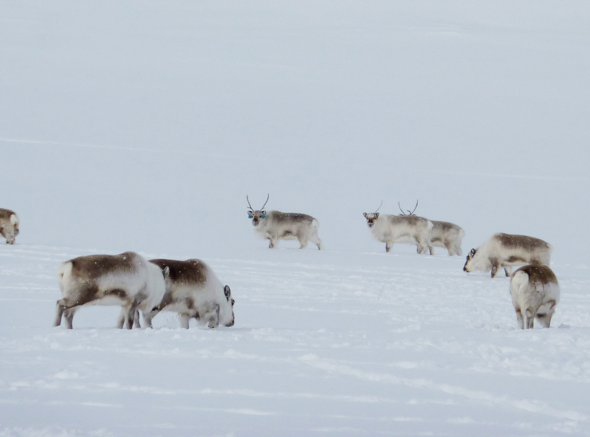 Reindeer able to maintain circadian rhythm in total light or darkness