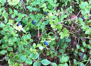 Blaeberry bush