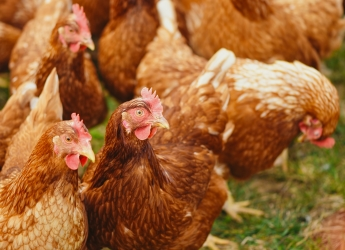 Poultry red mites are a global problem for the egg industry