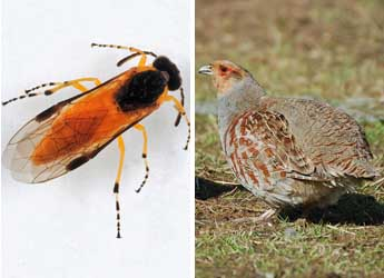 Sawfly © James Hutton Institute and Grey partridges © GWCT