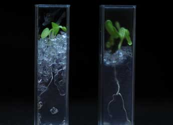 Lettuce plant in see-through soil (Lionel Dupuy, Ken Loades and Helen Downie)