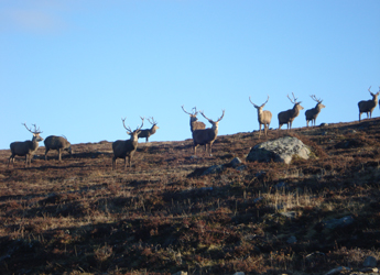 Image showing Deer stags on a skyline - Copyright Justin Irvine