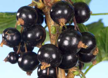 Photograph of Ben Klibreck blackcurrants