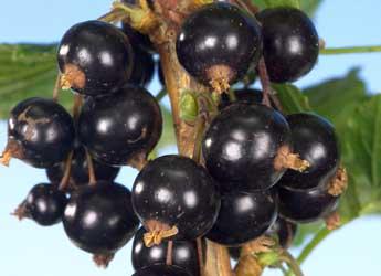 Photograph of Ben Klibreck blackcurrants