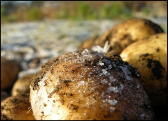 Photograph of potatoes (Courtesy of Carlos R. Galan-Diaz)