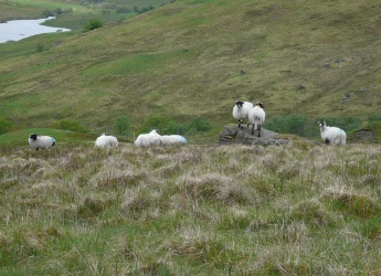 Sheep in grazing enclosure at Glen Finglas