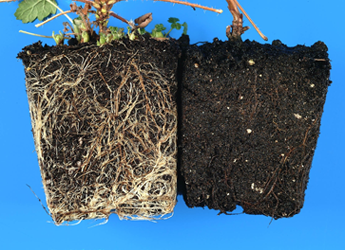 Photograph showing effects on root rot on root system of raspberry
