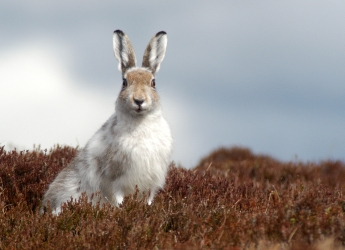 Photograph showing a mountain hare in winter colours