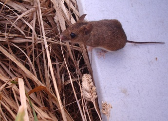 Photograph of a Wood mouse (Apodemus sylvaticus)