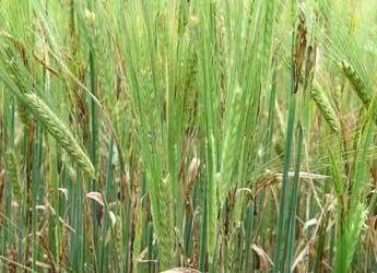 Rhynchosporium infected barley