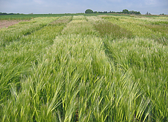 Photograph of barley trials for the AGOEUB project