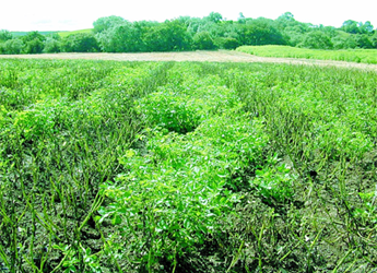 Photograph of a potato field trial for blight resistance