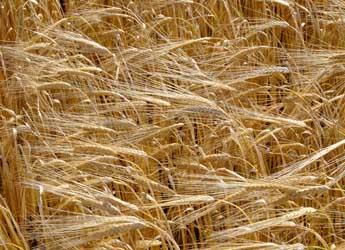 Barley growing in a field