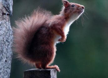 Photograph of a red squirrel