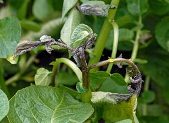 Potato stem affected by blight