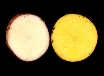Photo of wild potato (left) beside transformed potato with increased carotenoids