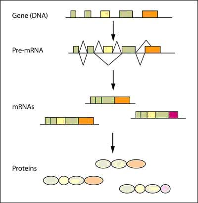 Figure 1: Alternative splicing of pre-mRNA gives rise to different mRNAs and proteins.