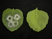 Photograph showing P. infestans infection on leaves