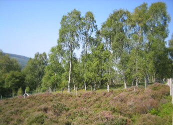 Felled birch plot with planted heather and mature birch plot.