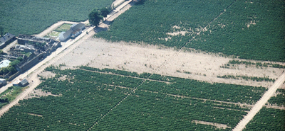 Figure 1: Aerial photograph of a raspberry field affected by Phytophthora fragariae var. rubi. Plant death due to the disease is clear.