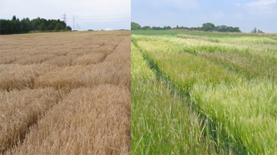 Figure 1: Barley trials for the AGOUEB project at the Institute (2008)
