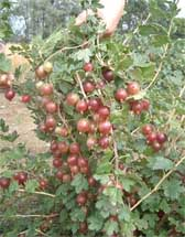 Photograph of red gooseberries