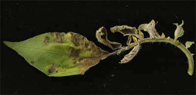 Figure 1: Late blight infected leaf