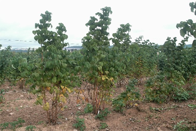 Latham Raspberry Plants