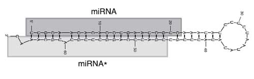Figure 1: Potato specific precursor miRNA sequence and its structure