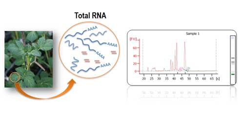 Figure 2: RNA extraction and analysis for high-throughput sequencing from leaf tissue