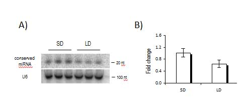 Figure 4: Conserved miRNA showing differential expression under short (SD) and long day (LD) conditions. (A-Northern blot, B-quantitative RT-PCR).