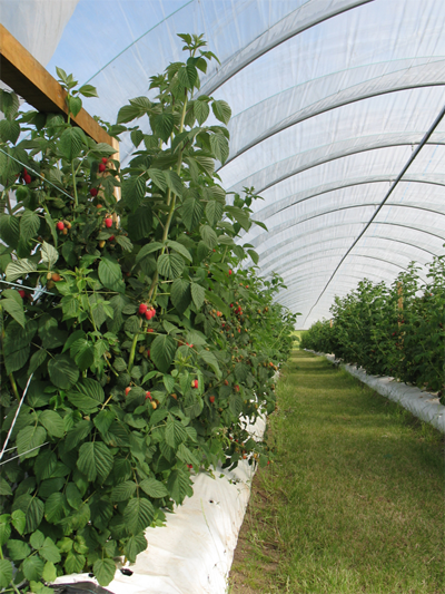 Figure 1: Raspberry plots grown undercover in polytunnels at the James Hutton Institute
