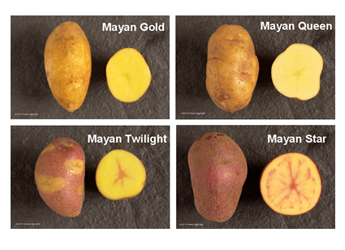 Photograph of the Mayan potato varieties, Gold, Twilight, Queen and Star
