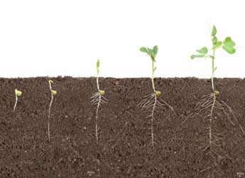 Image showing pea shoots at different growth stages