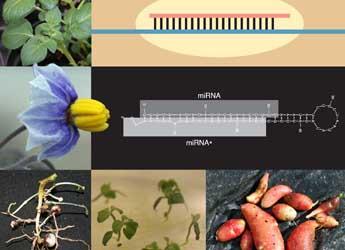 Potato miRNA image