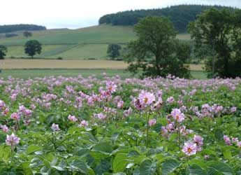 Photograph of a potato field in flower