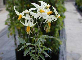 Photograph of potato flowers