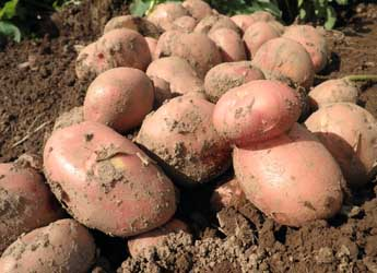 Photograph of potatoes just dug from a field