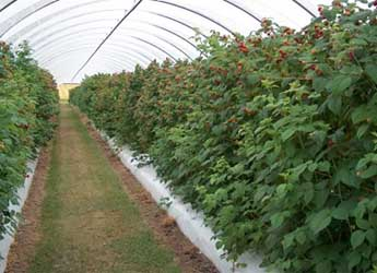 Photograph of raspberries growing in a polytunnel