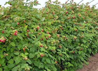 Fruiting raspberry in a polytunnel