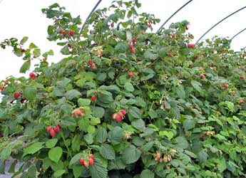 Photograph of raspberry canes bearing fruit growing in a polytunnel