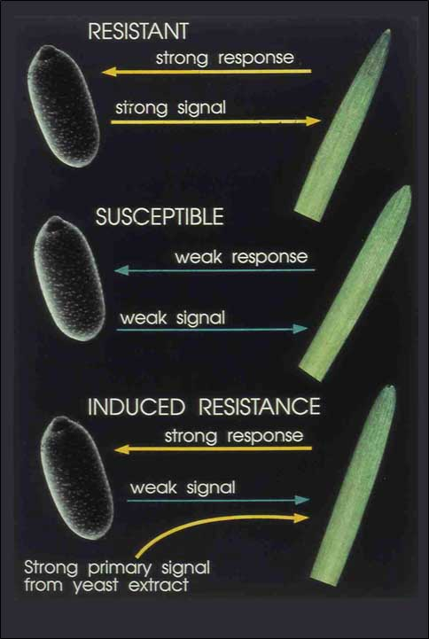 virus resistant plant